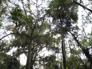 San Gil Tree 1